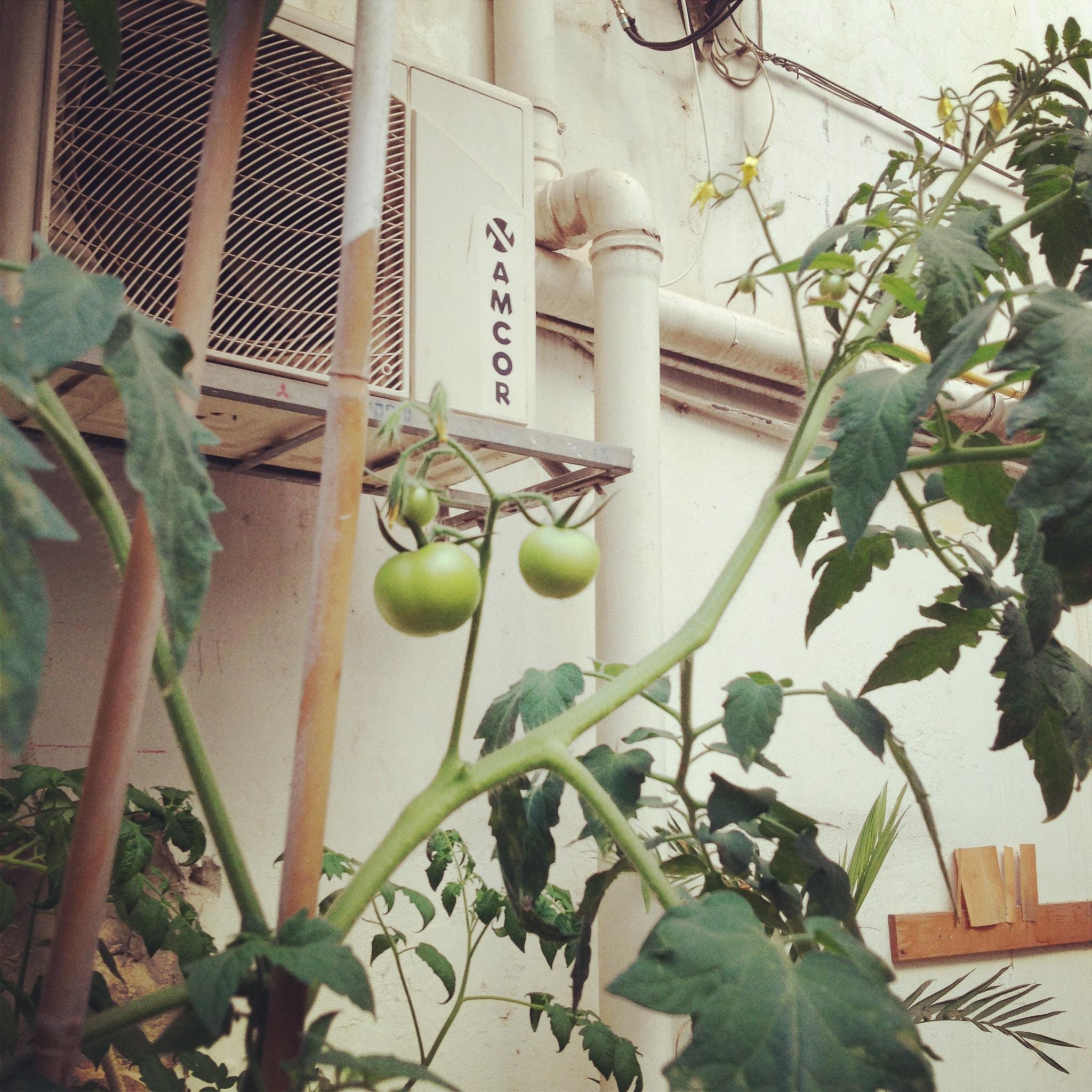 עגבניות מזן אמקור