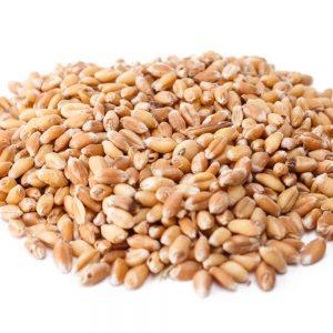 זרעי חיטה מלאה להנבטה ובישול - אקו סטור - מיץ עשב חיטה