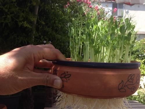 זרעי אפונה להנבטה - זרעים להנבטה - אקו סטור