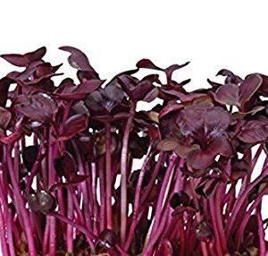 זרעי צנונית אדומה להנבטה (רמבו)