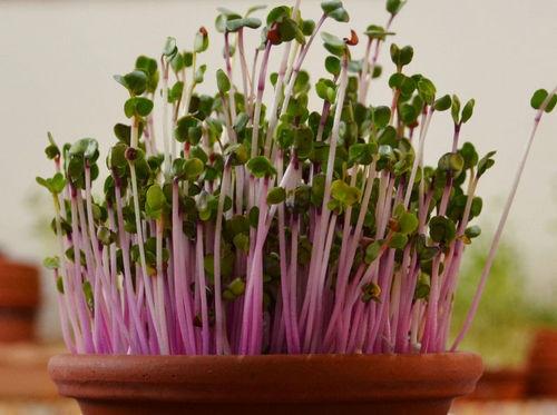 זרעי צנונית להנבטה - זרעים להנבטה - אקו סטור